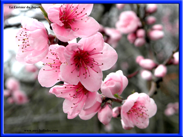 La flore en cote d 39 or 21 - Pommier du japon toxique ...