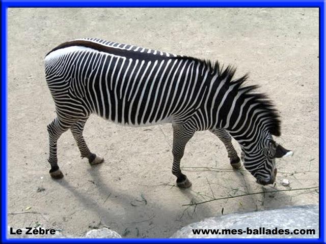 Zebrapad rencontre z bres